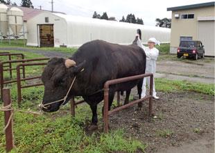 種雄牛の衛生検査を行う家畜保健衛生所の獣医師
