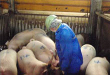 肉豚の組織検査